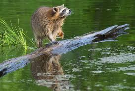 Raccoon Fishing 1 Image