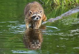 Raccoon Fishing 2 Image