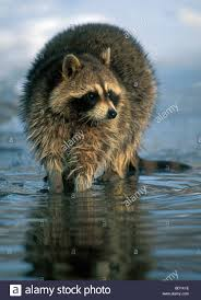 Raccoon Fishing 3 Image